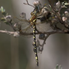Synthemis eustalacta (Swamp Tigertail) at Namadgi National Park - 11 Jan 2019 by RFYank