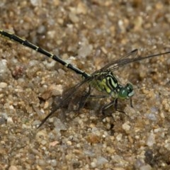 Austrogomphus guerini (Yellow-striped Hunter) at Paddys River, ACT - 11 Jan 2019 by RFYank