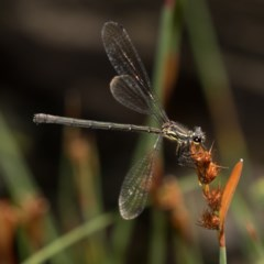 Austroargiolestes calcaris (Powdered Flatwing) at Namadgi National Park - 11 Jan 2019 by RFYank