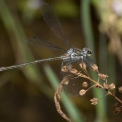 Austroargiolestes icteromelas (Common Flatwing) at Paddys River, ACT - 11 Jan 2019 by RFYank