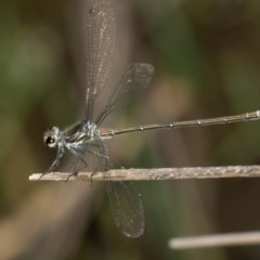 Austroargiolestes icteromelas (Common Flatwing) at Paddys River, ACT - 12 Jan 2019 by RFYank