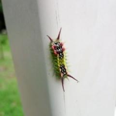 Doratifera quadriguttata (Four-spotted Cup Moth) at Morton, NSW - 7 Jan 2019 by vivdavo