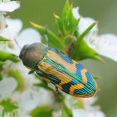 Castiarina sp. (Jewel beetle) at Tianjara, NSW - 19 Jan 2019 by Harrisi