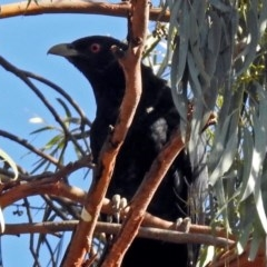 Eudynamys orientalis (Eastern Koel) at Macarthur, ACT - 24 Jan 2019 by RodDeb