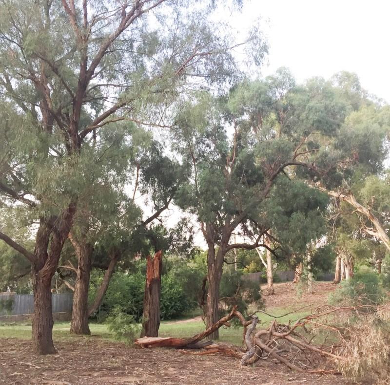 Eucalyptus nicholii at Hughes Garran Woodland - 24 Jan 2019