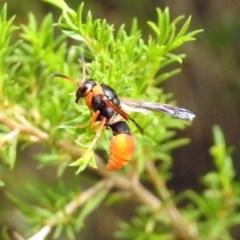 Eumeninae sp. (subfamily) (Unidentified Potter wasp) at Namadgi National Park - 23 Jan 2019 by RodDeb