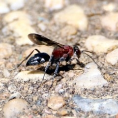 Pompilidae sp. (family) (Unidentified Spider wasp) at Namadgi National Park - 24 Jan 2019 by RodDeb