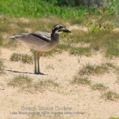 Esacus magnirostris (Beach Stone-curlew) at Jervis Bay National Park - 21 Jan 2019 by Charles Dove