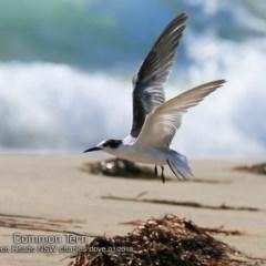 Sterna hirundo (Common Tern) at Comerong Island, NSW - 21 Jan 2019 by Charles Dove