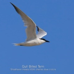 Gelochelidon nilotica (Gull-billed Tern) at Shoalhaven Heads Bushcare - 21 Jan 2019 by Charles Dove