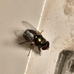 Chrysomya sp. (genus) (A green/blue blowfly) at Greenleigh, NSW - 25 Jan 2019 by LyndalT