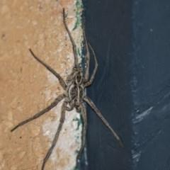 Tasmanicosa sp. (genus) (Unidentified Tasmanicosa wolf spider) at Higgins, ACT - 22 Jan 2019 by AlisonMilton