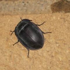 Pterohelaeus laticollis (Pie-dish beetle) at Higgins, ACT - 22 Jan 2019 by Alison Milton