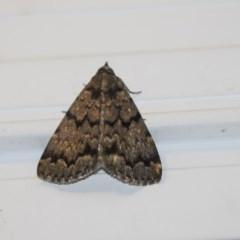 Mormoscopa phricozona (A Herminiid Moth) at Higgins, ACT - 22 Jan 2019 by Alison Milton