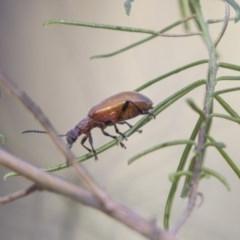 Ecnolagria grandis (Honeybrown beetle) at Hawker, ACT - 22 Jan 2019 by Alison Milton