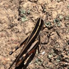 Macrotona australis (Common Macrotona Grasshopper) at Mount Ainslie - 24 Jan 2019 by jbromilow50
