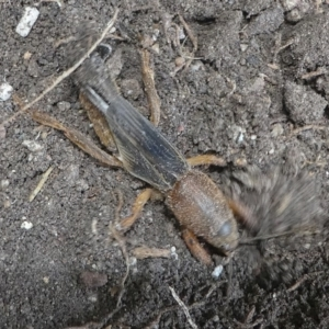 Gryllotalpa sp. (genus) at Kambah, ACT - 23 Jan 2019