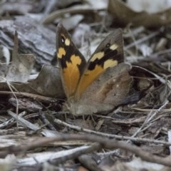 Heteronympha merope (Common Brown) at ANBG - 25 Jan 2019 by WarrenRowland