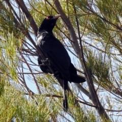 Eudynamys orientalis at Jerrabomberra Wetlands - 25 Jan 2019
