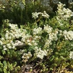 Sedum album (White Stonecrop) at Isaacs Ridge and Nearby - 25 Jan 2019 by RWPurdie