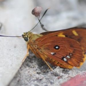 Trapezites symmomus at Monga National Park - 23 Jan 2019