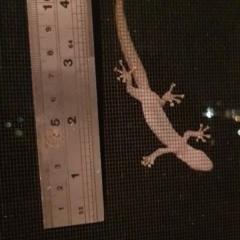 Christinus marmoratus (Southern Marbled Gecko) at Lyons, ACT - 26 Jan 2019 by John.Butcher