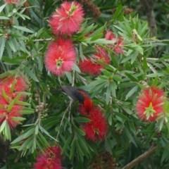 Myzomela sanguinolenta (Scarlet Honeyeater) at Morton, NSW - 23 Jan 2019 by vivdavo