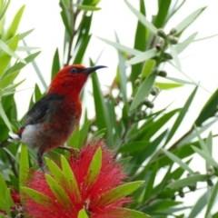 Myzomela sanguinolenta (Scarlet Honeyeater) at Morton, NSW - 10 Jan 2018 by vivdavo