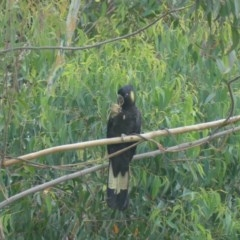 Calyptorhynchus funereus (Yellow-tailed Black-cockatoo) at Morton, NSW - 23 Jan 2019 by vivdavo
