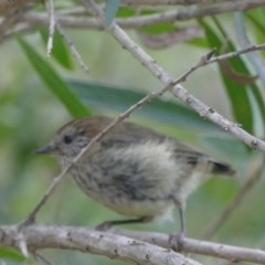Acanthiza lineata (Striated Thornbill) at Morton, NSW - 23 Jan 2019 by vivdavo