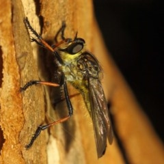 Zosteria rosevillensis (A robber fly) at ANBG - 21 Jan 2019 by TimL