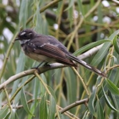 Rhipidura fuliginosa (Grey Fantail) at Jerrabomberra Wetlands - 26 Jan 2019 by RodDeb