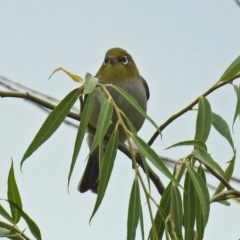 Zosterops lateralis (Silvereye) at Jerrabomberra Wetlands - 26 Jan 2019 by RodDeb