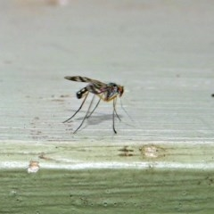 Heteropsilopus sp. (genus) (A long legged fly) at Fyshwick, ACT - 26 Jan 2019 by RodDeb