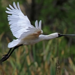 Platalea regia at Jerrabomberra Wetlands - 27 Jan 2019