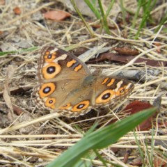 Junonia villida (Meadow Argus) at Kambah, ACT - 27 Jan 2019 by MatthewFrawley