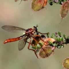 Daptolestes sergius (Robber fly) at Namadgi National Park - 10 Jan 2019 by HarveyPerkins