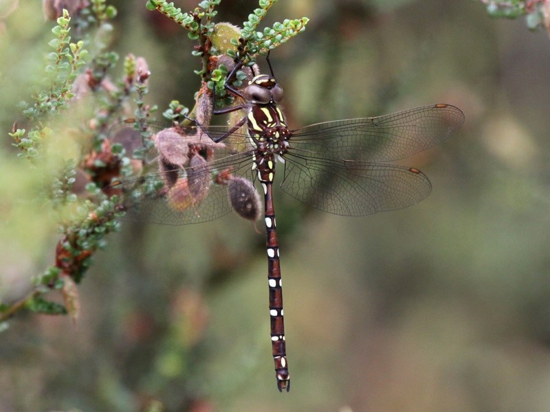 Austroaeschna pulchra at Namadgi National Park - 11 Jan 2019