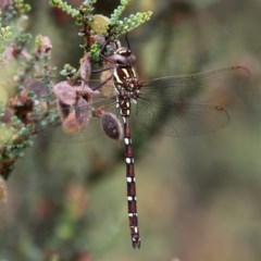 Austroaeschna pulchra (Forest Darner) at Namadgi National Park - 11 Jan 2019 by HarveyPerkins