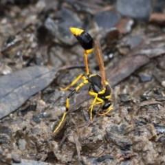 Sceliphron laetum (Common mud dauber wasp) at Mulligans Flat - 26 Jan 2019 by HarveyPerkins