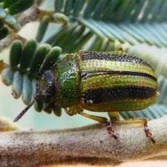 Calomela vittata (Acacia leaf beetle) at Mulligans Flat - 27 Jan 2019 by HarveyPerkins