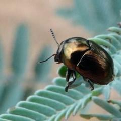Ditropidus sp. (genus) (Leaf beetle) at Mulligans Flat - 27 Jan 2019 by HarveyPerkins
