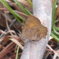 Paralucia aurifer (Bright Copper) at Namadgi National Park - 27 Jan 2019 by Christine