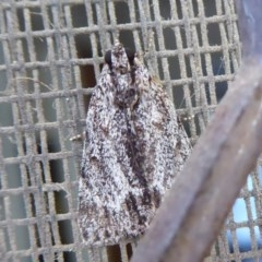 Spectrotrota fimbrialis (A Pyralid moth) at Flynn, ACT - 25 Jan 2019 by Christine
