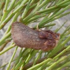 Doratifera quadriguttata and casta (Four-spotted Cup Moth) at Tuggeranong Hill - 7 Dec 2018 by Owen