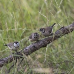 Taeniopygia bichenovii (Double-barred Finch) at The Pinnacle - 23 Jan 2019 by Alison Milton