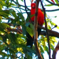 Alisterus scapularis (Australian King-parrot) at Croajingolong National Park (Vic) - 20 May 2012 by ALCW_BDRS