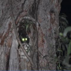 Petauroides volans at Buckenbowra State Forest - 23 Jan 2019