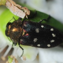 Pachycisseis bicolor (TBC) at Yadboro State Forest - 26 Jan 2019 by Harrisi