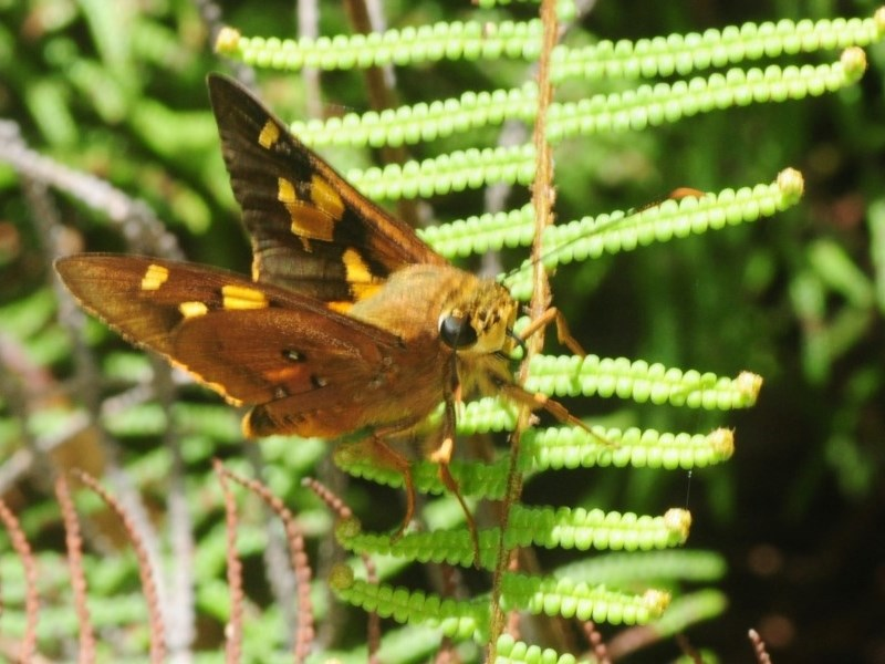 Trapezites symmomus at Monga National Park - 26 Jan 2019